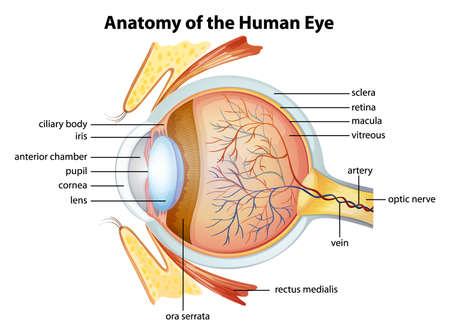 Illustratie van het menselijk oog anatomie Stock Illustratie