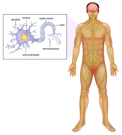 vesicles: Illustration showing the human neuron Illustration