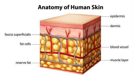 人間の皮膚の解剖学のイラスト  イラスト・ベクター素材