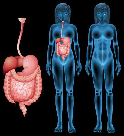 systeme digestif: Illustration de l'appareil digestif humain Illustration