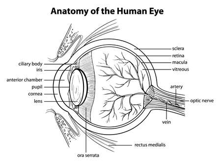 vitreous body: Illustration showing the human eye
