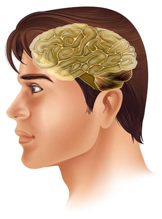 temporal: Illustration of the human brain