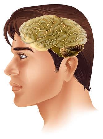 occipital: Illustration of the human brain