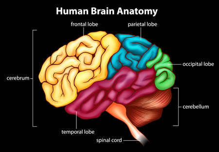 Illustration of the human brain Stock Vector - 20679935