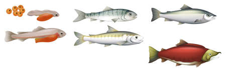salmon fish: Illustration of the life cycle of salmons