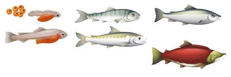 vida: Ilustración del ciclo de vida de los salmones Vectores