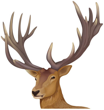 red deer: Illustration of a male deer Illustration