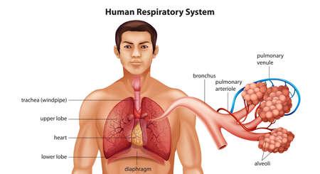 alveolos pulmonares: Ilustración del sistema respiratorio del ser humano