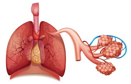 aparato respiratorio: Ilustraci�n del sistema respiratorio