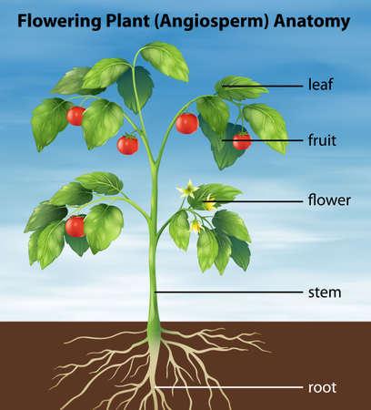 Ilustraci?n que muestra las partes de una planta de tomate