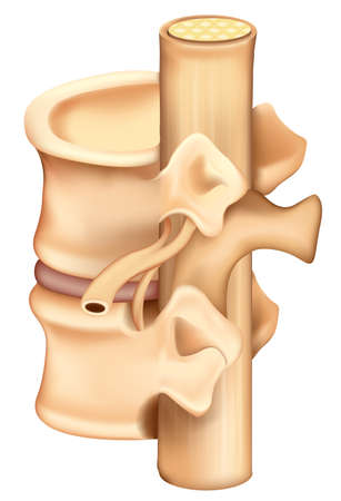 median: Illustration showing a single human vertebrae Illustration