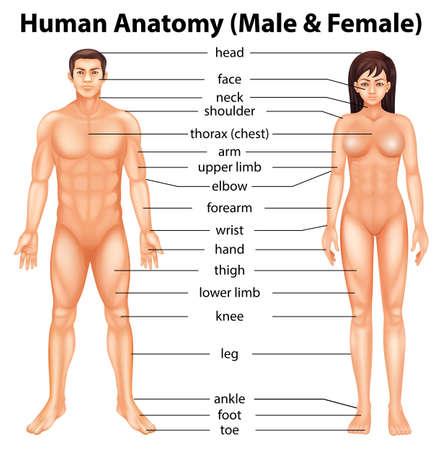 partes del cuerpo humano: Ilustración que muestra las partes del cuerpo humano