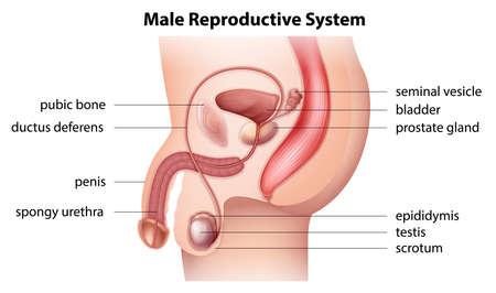 Pene: Illustrazione che mostra il sistema riproduttivo maschile