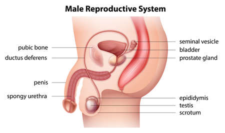 aparato reproductor: Ilustración que muestra el sistema reproductor masculino