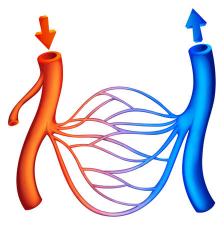 Illustration showing the blood circulation