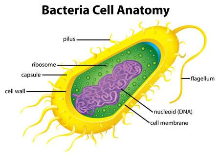 bacterias: Ilustración de la estructura de célula de las bacterias