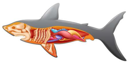 pez martillo: Ilustración que muestra la anatomía del tiburón
