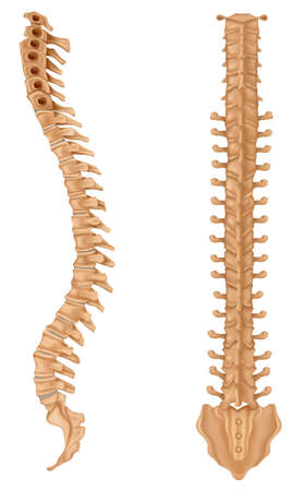 median: Illustration showing the spinal vertebrae Illustration