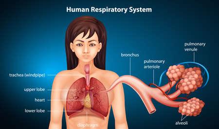 alveolos pulmonares: Ilustración del sistema respiratorio de los humanos