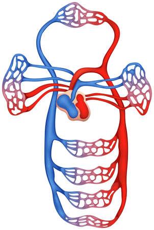 Illustratie die de bloedsomloop