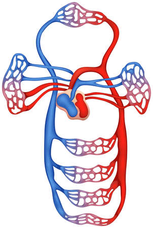capillaries: Illustration showing the circulatory system
