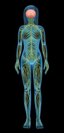 nerveux: Illustration du syst?me nerveux humain
