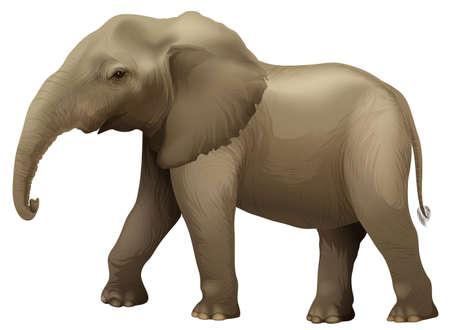vertebra: Illustration showing the african elephant Illustration