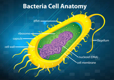 bacterie: Illustratie van de bacteriën celstructuur