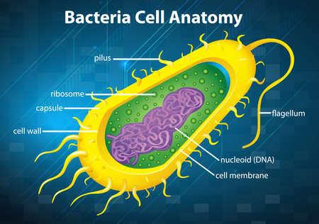 bacterial: Illustrazione della struttura della cellula batterica