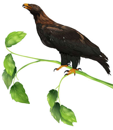 Illustration showing the wedge-tailed eagle