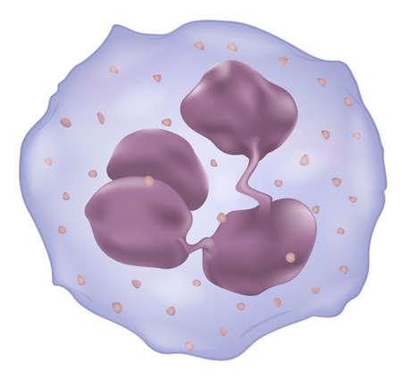 globulos blancos: Ilustración que muestra una célula blanca de la sangre