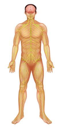 biomedical: Illustrazione del sistema nervoso umano