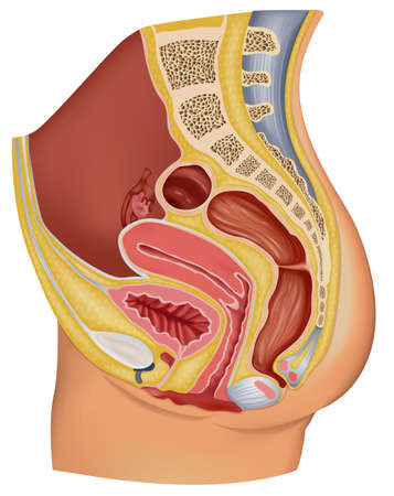 Illustration showing the female reproductive organ