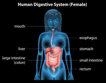 higado humano: Ilustración del sistema digestivo humano