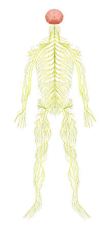 脊椎: 人間の神経系のイラスト  イラスト・ベクター素材
