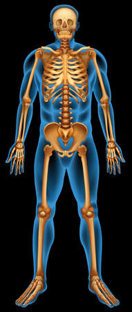 skeleton skull: Illustration of the human skeletal system Illustration