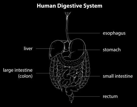 cecum: Illustration showing the human digestive system Illustration