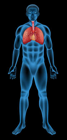 alveolos pulmonares: Ilustraci?n del sistema respiratorio humano