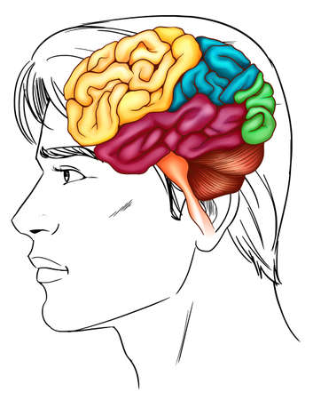 temporal: An illustration of the human brain Illustration