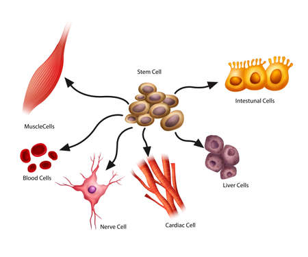 muscle cell: Illustration showing the stem cells