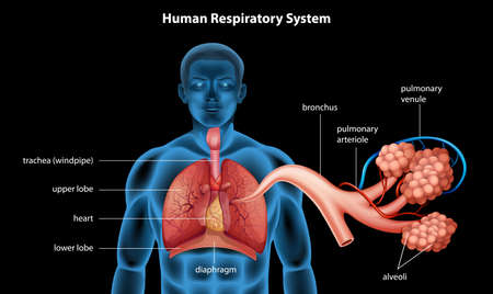 bronchiole: Illustration showing the respiratory system Illustration