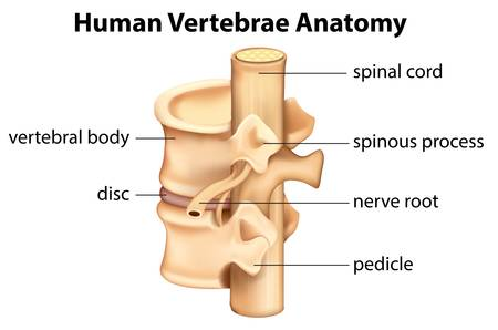 median: Illustration showing the Human vertebrae anatomy Illustration