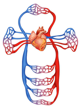 carotid: Illustration showing the circulatory system