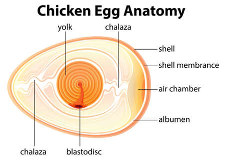 chicken and egg: Illustration showing the chicken egg anatomy