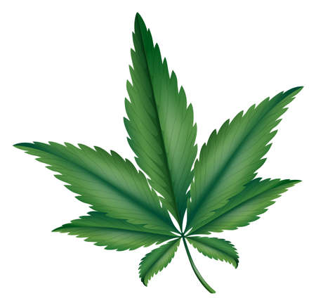 cannabis sativa: Illustration showing the marijuana