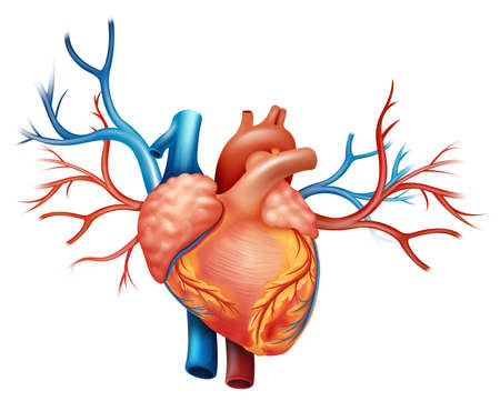 arteries: Illustration showing the heart Illustration