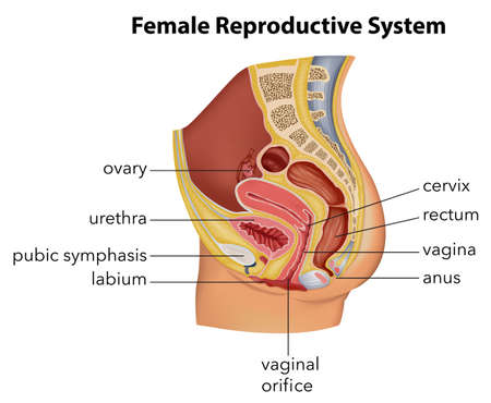 Illustration showing the female reproductive system Vector