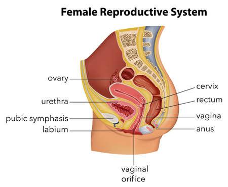 sistema reproductor femenino: Ilustración que muestra el sistema reproductor femenino