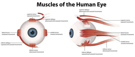 farsighted: Illustration of the muscles of the human eye