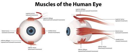 cornea: Illustrazione dei muscoli dell'occhio umano Vettoriali
